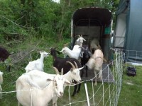 Goats clearing invasive plants at the EPA in Narragansett Rhode island